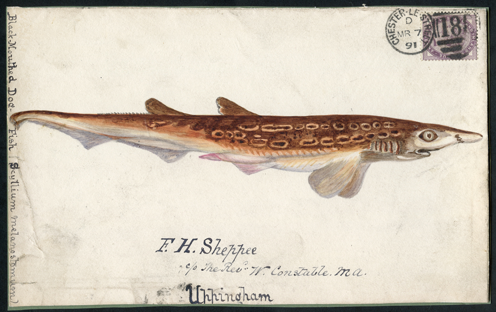 1891 hand painted watercolour (Black Mouthed Dog Fish) cover front, 1d lilac, Chester Le Street duplex to Uppingham